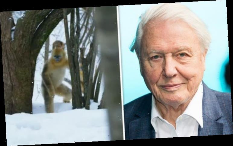 Bigfoot mystery solved: David Attenborough exposes 'human-like monster' in BBC show